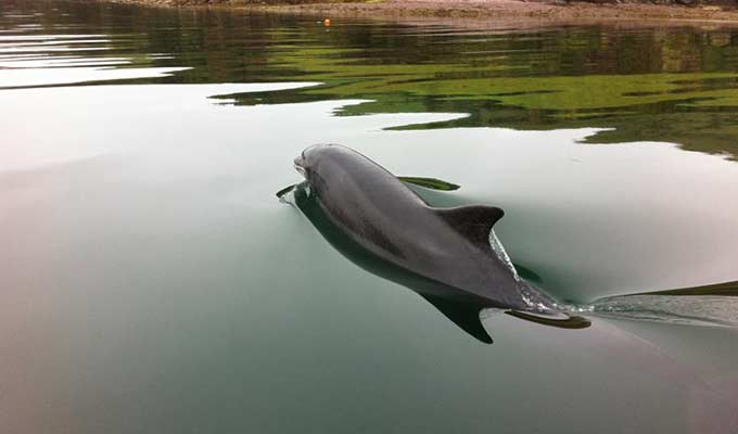 Fungi the famous Dingle Dolphin swimming in the harbour
